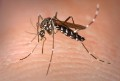 Komar-Aedes_Albopictus fot. James Gathany - CDC